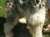 AKC Afghan Hounds $800 for female and $1000 for male or