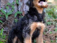 AKC Airedale Terriers ready to go. Adorable, fun
