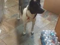 Akita BLK/whi very friendly trained and love kids not
