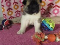 Meet COOPER. He is an AKC signed up Akita male. He has