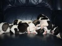 We have AKC Registered Akita puppies with black and