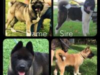 AKC Registered Akita puppies with big solid bone