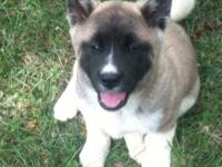AKC CHAMPION BLOODLINE AKITA PUPPIES, They are 7 weeks