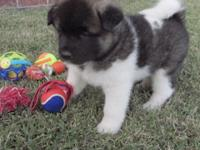 Meet MOLLY. She is an AKC signed up Akita female. She