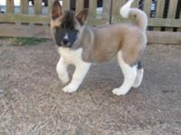 Meet WILLIE. He is an AKC registered Akita male. He has