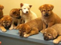 AKC AKITAS, I currently have 2 (red) males and 4