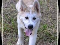 I have a pure bred, AKC Akita male puppy. He was born
