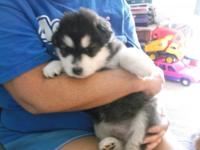 we have 1 akc male alaska malamute for sale he is not
