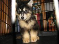 last one We have 1 male akc registered Alaskan malamute