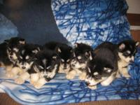 We have 7 AKC registered Alaskan malamute puppies. 4