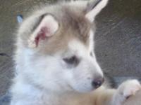 We have a female puppy available,She is akc l reg.She