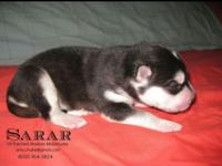 Sarar is a cuddle bug! He is a black and white male