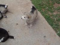 We have 1 Akc Alaskan Malamute puppy available,We are a