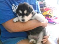 we have akc Alaska malamute for sale he is not ready to
