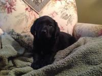 4 black female lab puppies ready to go home 11/21. Will