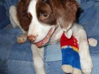 AKC Registered American Brittany Puppy. 14 Week Old