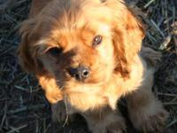I'm an AKC American Cocker Spaniel that needs a home! I