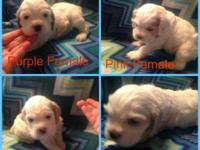 AKC registered American cocker spaniel puppies. Born on