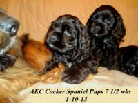 AKC Cocker Spaniel Puppies- 8 wks old, 1st shots,