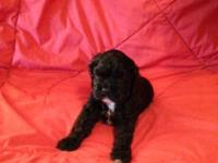 Beautiful Cocker Spaniel Puppy Male Black with white