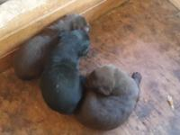 Full bred American Lab young puppies for sale.