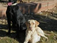 American Pointing and field labradors! These puppies