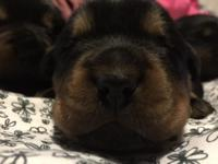 We have a 2 males and one female rottweilers. They are