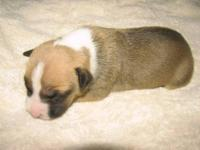 From a litter of true AKC amstaffs, Christy is a