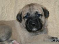 AKC ANATOLIAN SHEPHERD PUPPIES AVAILABLE We have 5