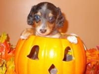 Three adorable male dachshunds that are looking for