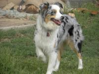 Bella is a beautiful AKC and ASCA Blue merle female