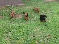 We raise AKC and CKC Dachshund puppies for companions.
