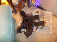 We have 5 new pups 2 red an rust females an 2red an