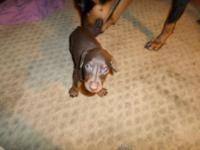 I have 5 Doberman pincher puppies 2 red and rust males
