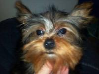 Adorable Teeny Tiny Yorkshire Terrier Puppys. AKC and