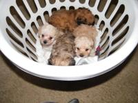 I have three beautiful toy poodles. They were born on