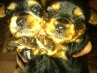 Taking deposit now on 2 tiny MALES ONLY Akc