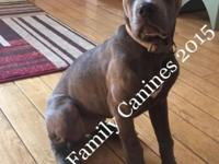 Meet Izzy. She is a blue brindle Cane Corse and was