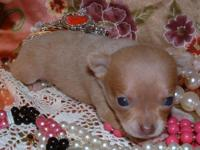COOKIE: AKC FULL REG RARE COLOR red/LAVENDER