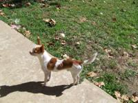 I have a 2 year old AKC/APRI male chihuahua, is a