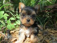 We have for sale very nice looking Registered Yorkies,