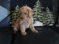 AKC apricot male poodle puppy, 12 weeks old. First