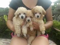 AKC toy apricot Poodle puppies ready for their new home