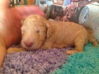 Apricot baby pet price 700 full akc 800 Shots and