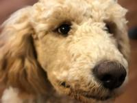 *****Not for sale**** AKC apricot Standard Poodle