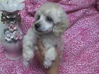 AKC Toy Poodle puppies Apricot and cream apricot parti,