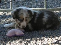 A great deal for superior quality AKC/ASCA pups! 1st