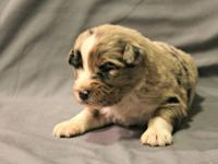 Registered with AKC and ASCA. This litter comes from an