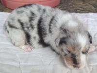 AKC & ASCA Australian Shepherd puppies born 6/23/15.