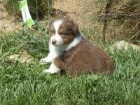 Born 3/7/14. AKC/ASCA signed up. Champion lines of